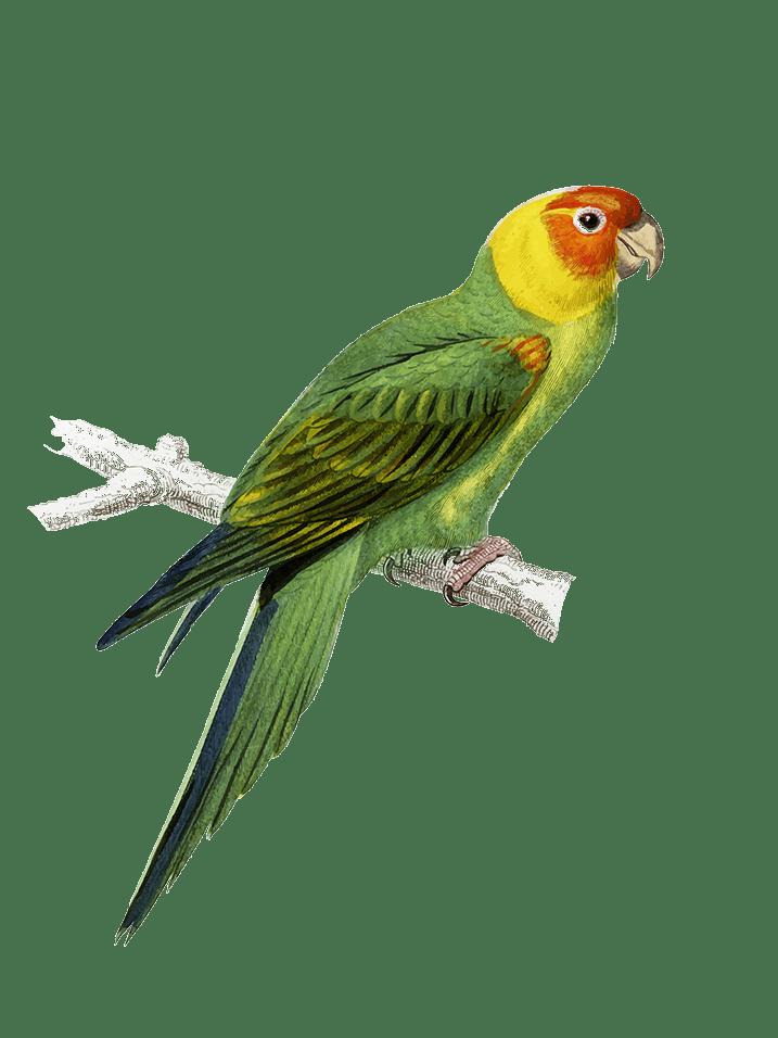 perroquet posé sur sa branche